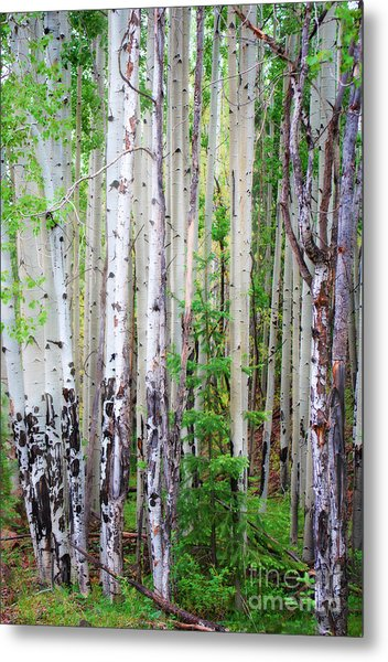 Aspen Grove In The White Mountains Metal Print
