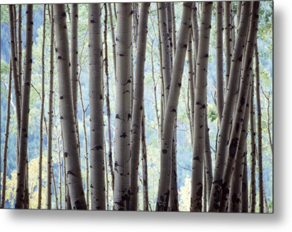 Aspen On The Edge Of Bear Creek Metal Print