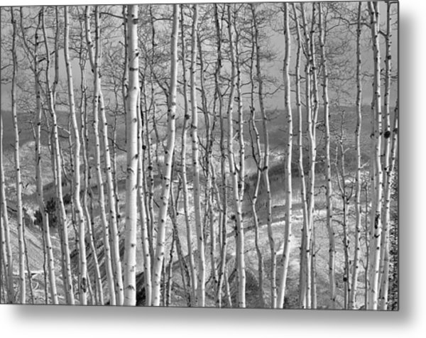 Aspen Stand In Black And White Metal Print