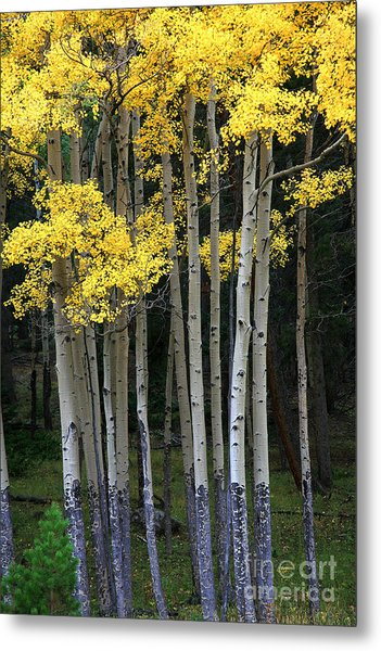 Aspen Stand Metal Print by Timothy Johnson