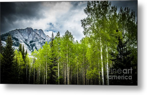 Aspen Trees Canadian Rockies Metal Print