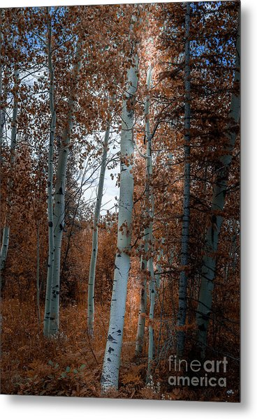 Aspen Trees Ryan Park Wyoming Metal Print