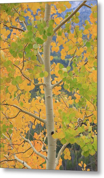Aspen Watching You Metal Print
