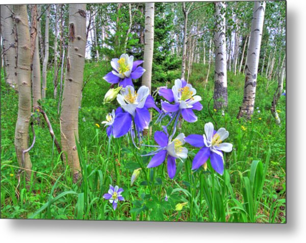 Aspens And Columbines Metal Print