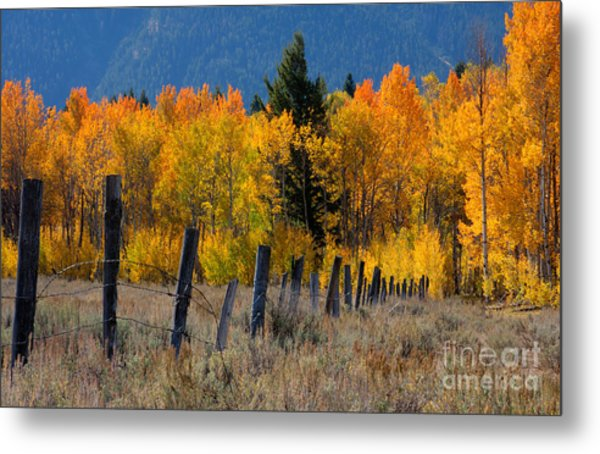 Aspens And Fence Metal Print