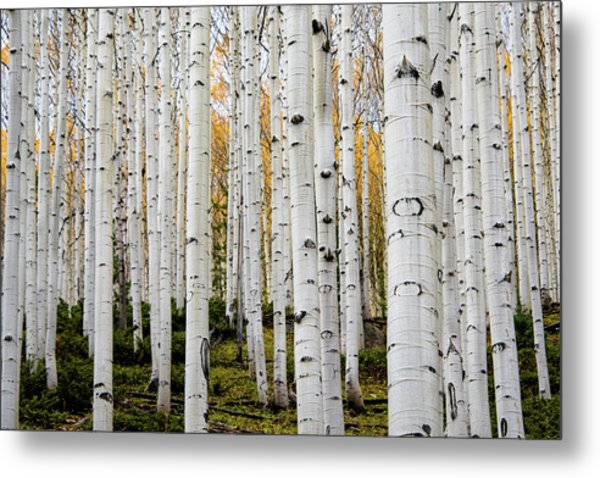Metal Print featuring the photograph Aspens And Gold by Stephen Holst