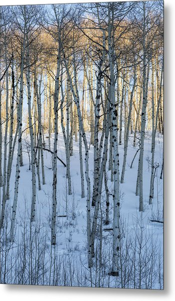 Aspens In Shadow And Light Metal Print