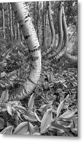 Aspens With Curves Metal Print