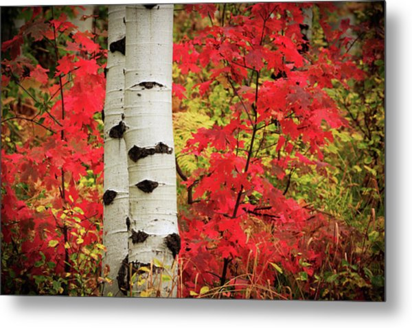 Aspens With Red Maple Metal Print