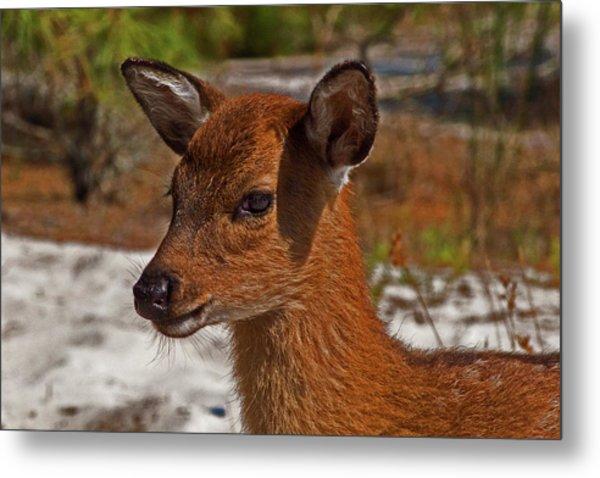 Assateague Island Sika Deer Fawn Metal Print