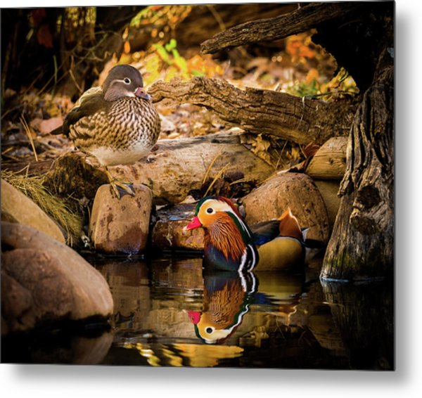 At The Waters Edge - Mandarin Ducks Metal Print