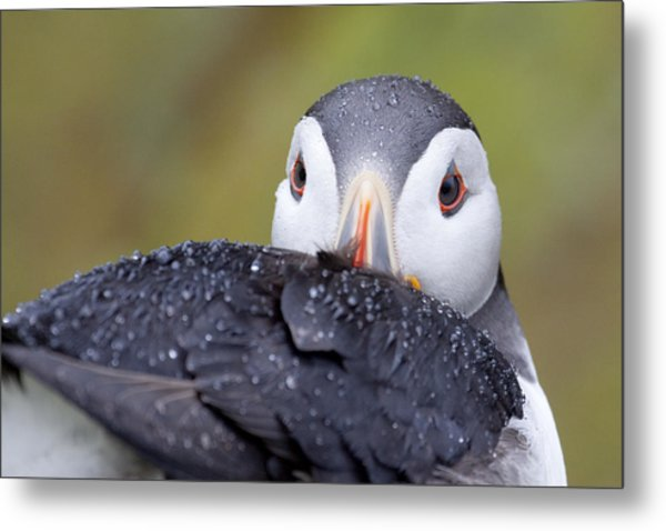 Atlantic Puffin With Rain Drops Metal Print