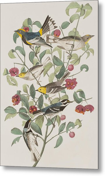Audubons Warbler Hermit Warbler Black-throated Gray Warbler Metal Print