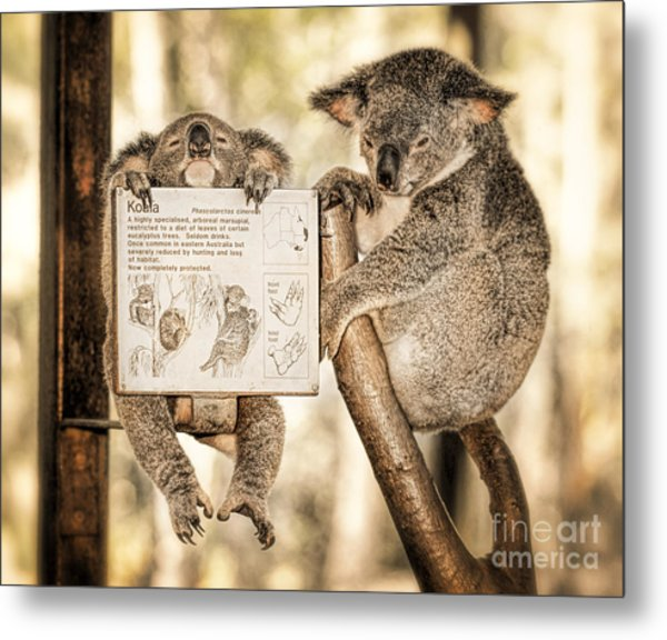 Metal Print featuring the photograph Koala Australia  by Juergen Held