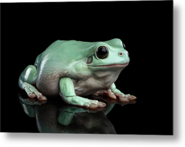 Australian Green Tree Frog, Or Litoria Caerulea Isolated Black Background Metal Print