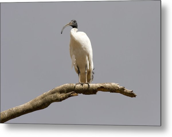 Australian White Ibis Perched Metal Print