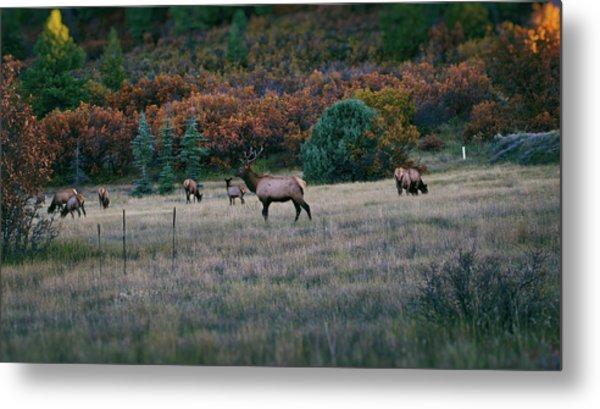 Autumn Bull Elk Metal Print