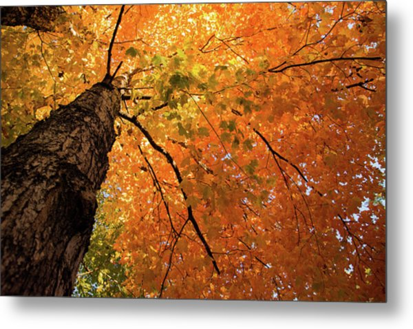 Autumn Canopy In Maine Metal Print