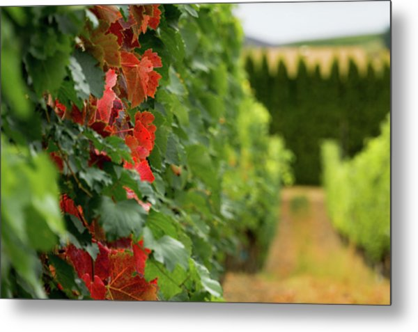 Autumn Comes To The Vineyard Metal Print