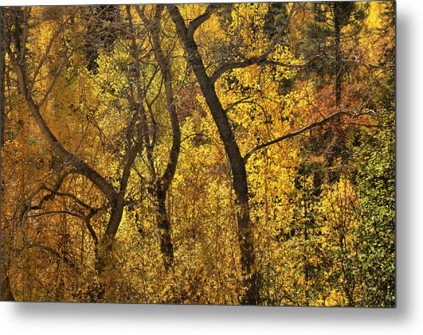 Autumn Cottonwood Thicket Metal Print