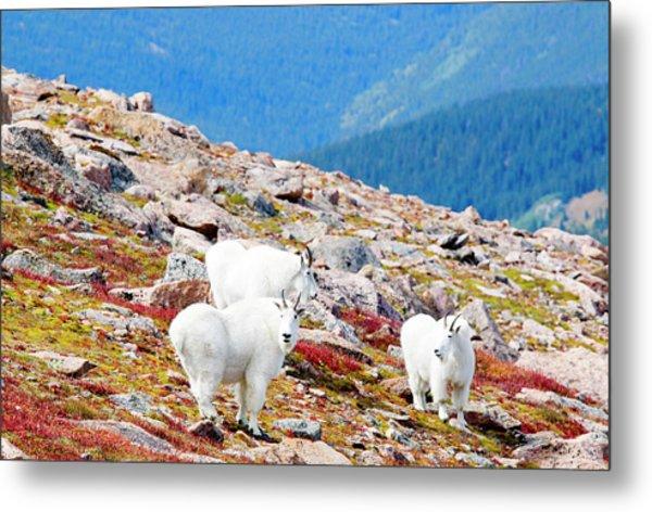 Autumn Goats On Mount Bierstadt Metal Print