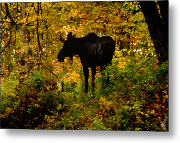 Autumn Moose Metal Print