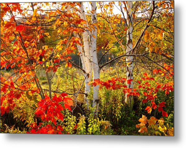 Autumn Scene With Red Leaves And White Birch Trees, Nova Scotia Metal Print