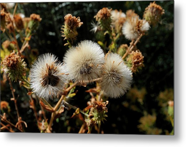 Autumn Thistle Metal Print