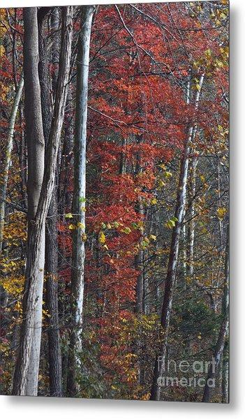 Autumn Trees 8261c Metal Print