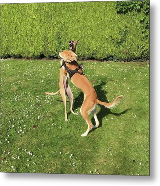 Ava The Saluki And Finly The Lurcher Metal Print