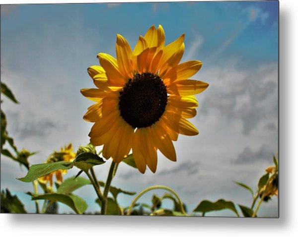 2001 - Awakening Sunflower Metal Print