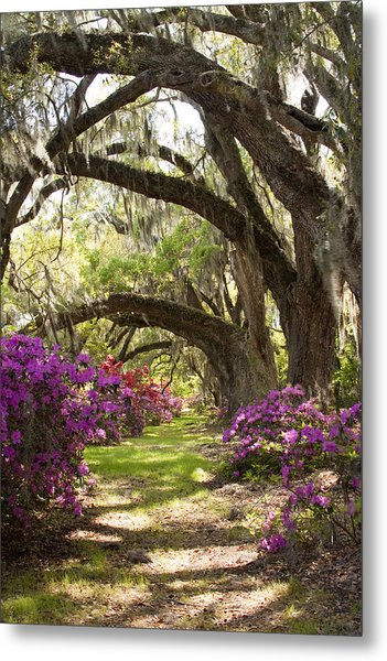 Azaleas And Live Oaks At Magnolia Plantation Gardens Metal Print