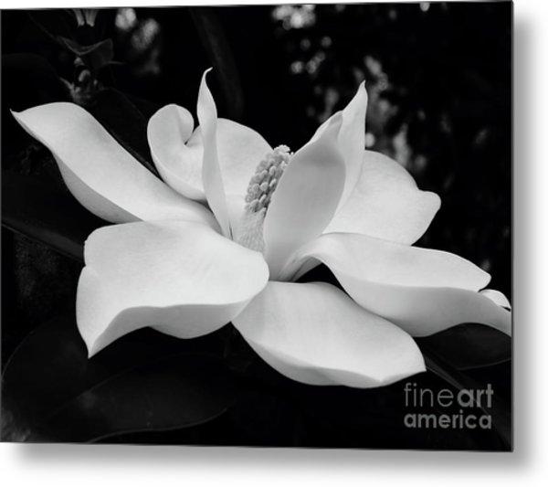 B W Magnolia Blossom Metal Print