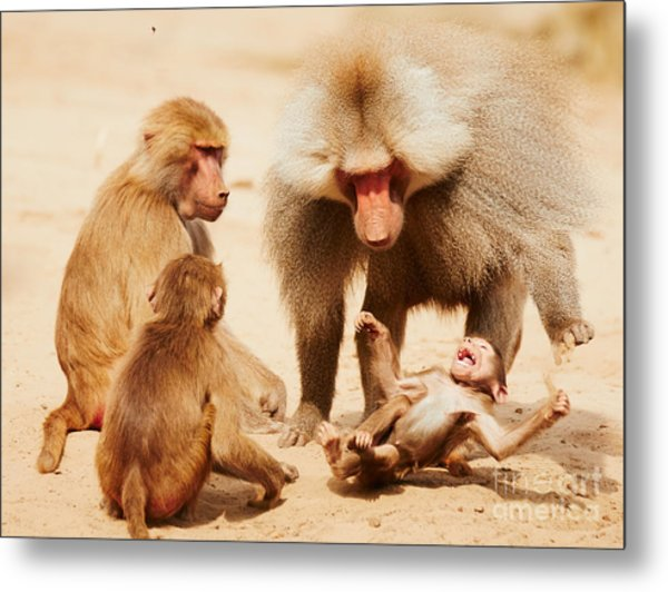 Baboon Family Having Fun In The Desert Metal Print