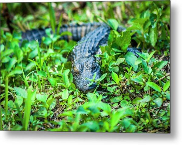 Baby Alligator Metal Print