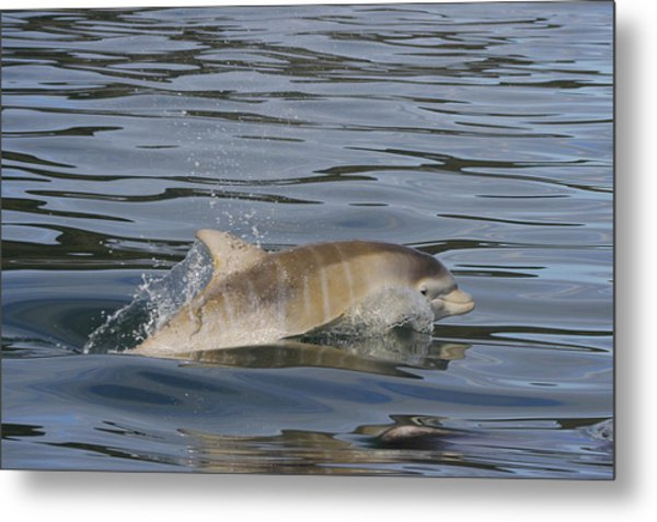 Baby Bottlenose Dolphin - Scotland  #35 Metal Print