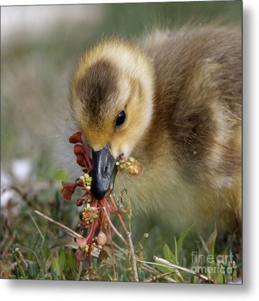 Baby Chick With Water Flowers Metal Print