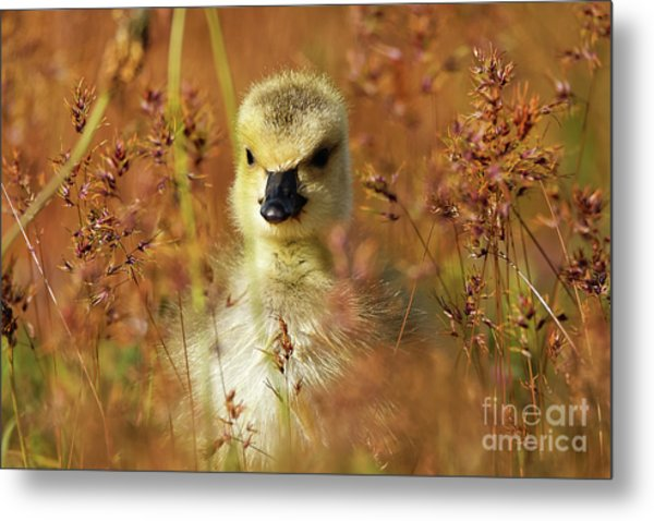 Baby Cuteness - Young Canada Goose Metal Print
