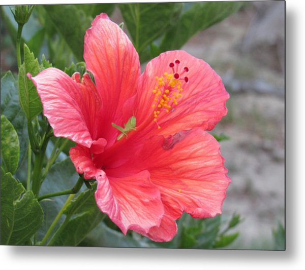 Metal Print featuring the photograph Baby Grasshopper On Hibiscus Flower by Nancy Nale