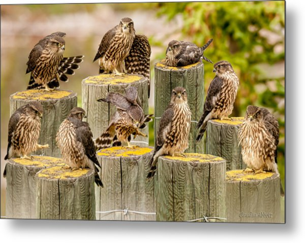 Baby Hawk Taking Inventory  Of Its Parts Metal Print