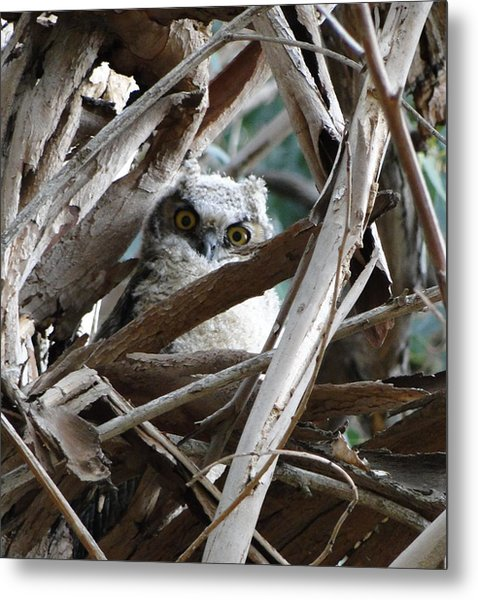 Baby Horned Owl Metal Print