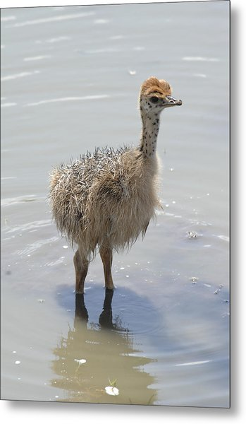 Baby Ostrich Metal Print by Keith Lovejoy