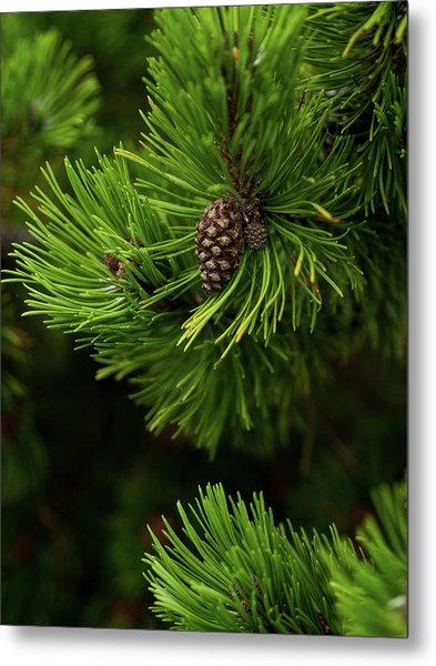 Baby Pine Cone Metal Print