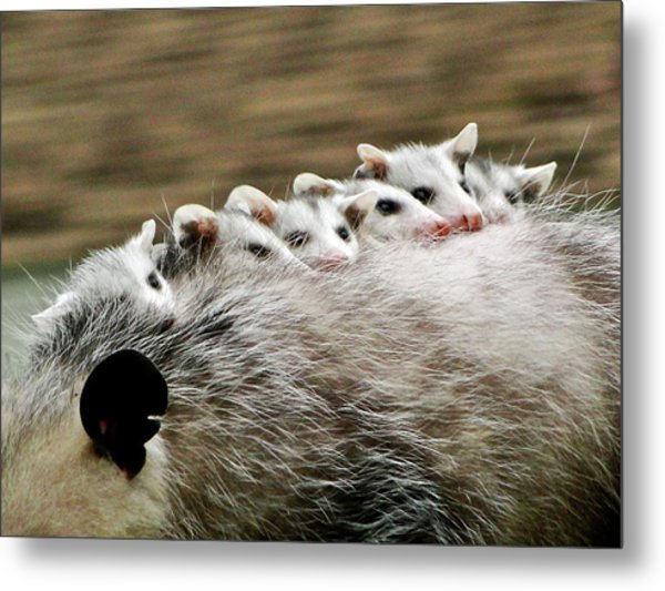 Baby Possums Metal Print