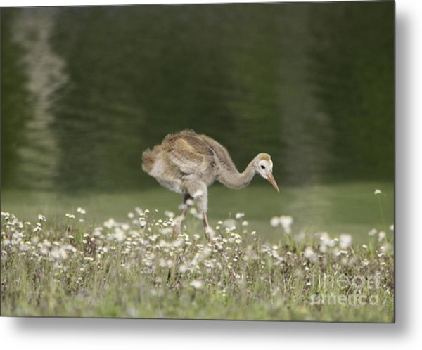 Baby Sandhill Crane Walking Through Wildflowers Metal Print