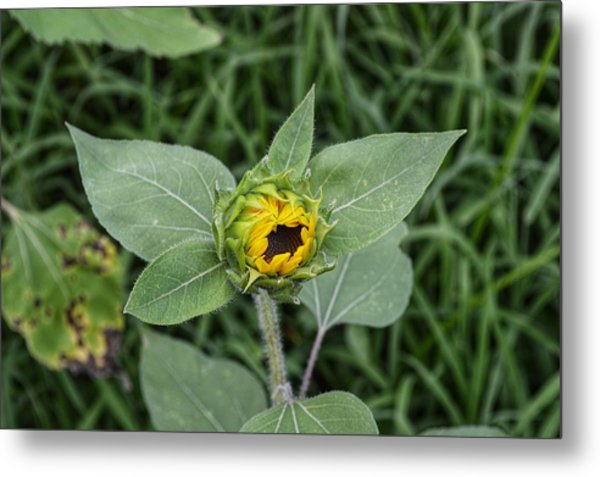 Baby Sunflower  Metal Print