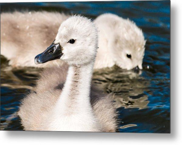 Baby Swan Close Up Metal Print