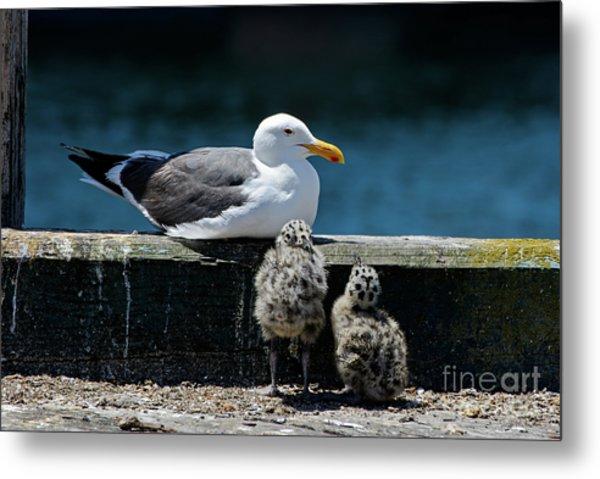 Baby Western Gulls With Mom Metal Print