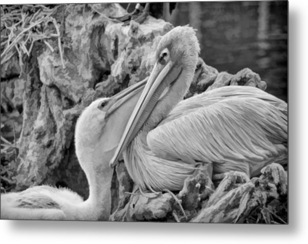 Baby White Pelican Talks To Mother White Pelican Metal Print