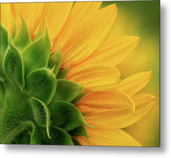 Back View Of Sunflower Metal Print